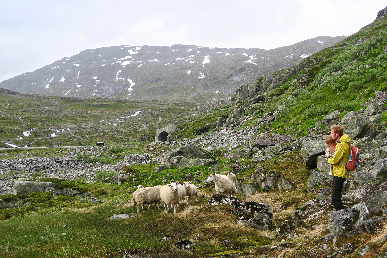 moutons Norvège