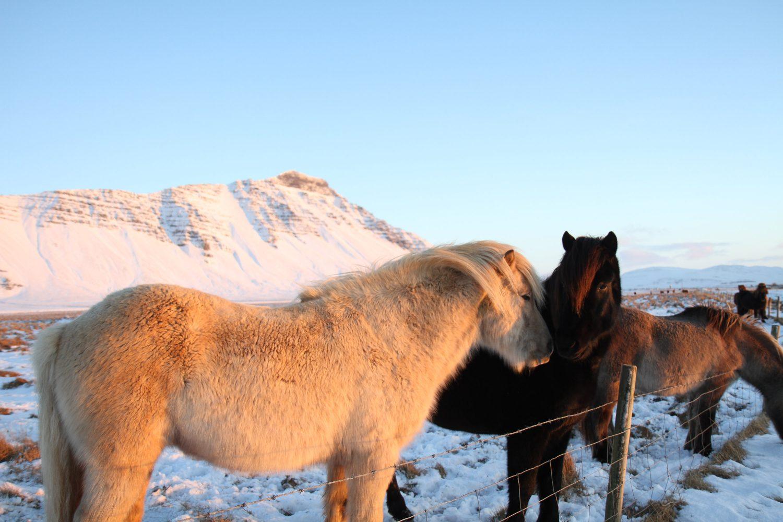 chevaux dans la neige en islande