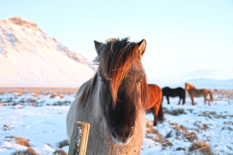 chevaux islandais dans la neige
