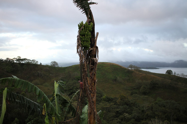 régime de banane au costa rica