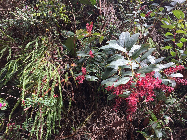 flore volcan Poás costa rica