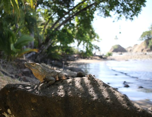 iguane dominicalito costa rica