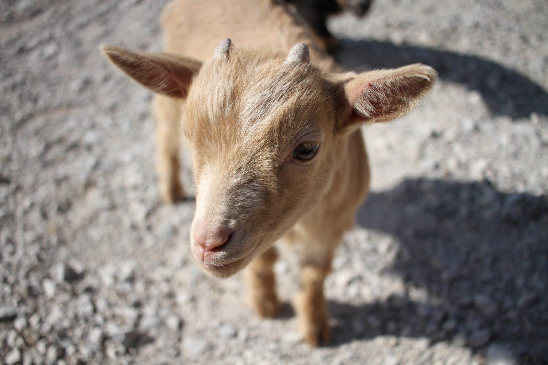 bébé chèvre asinerie du marquenterre