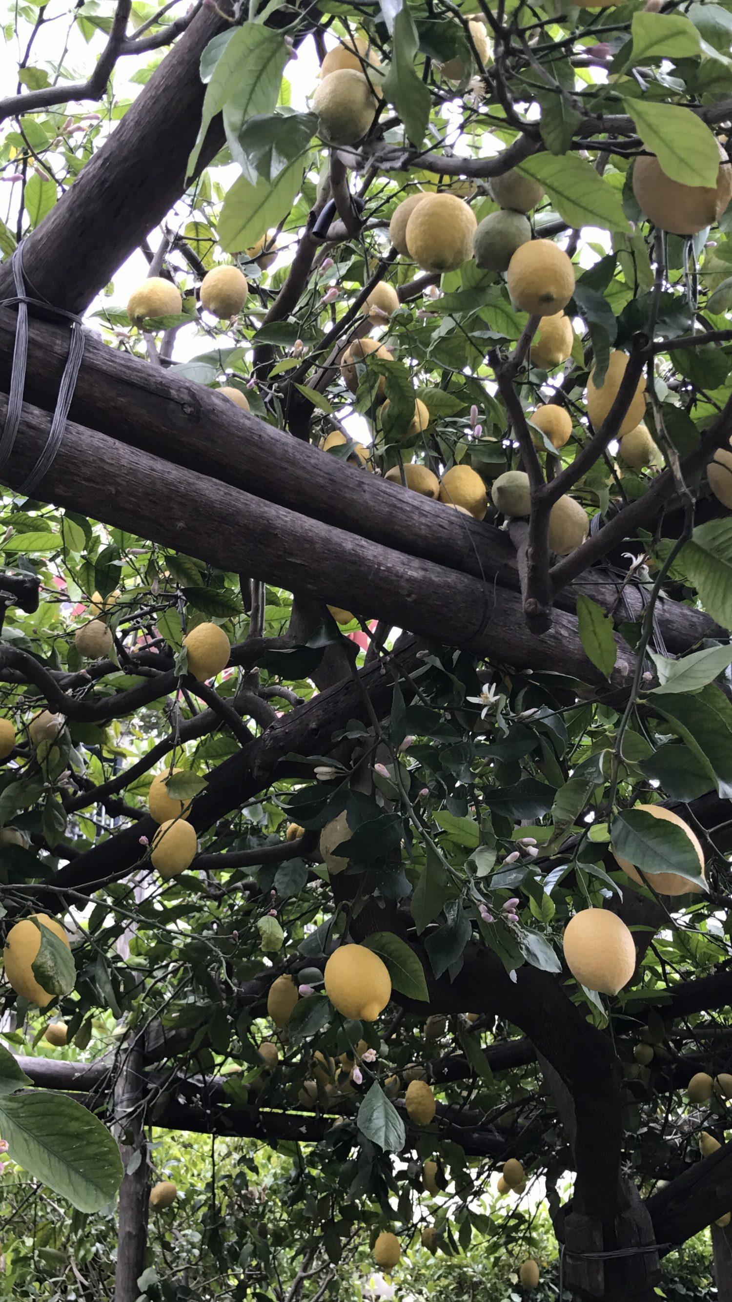 citronnier positano