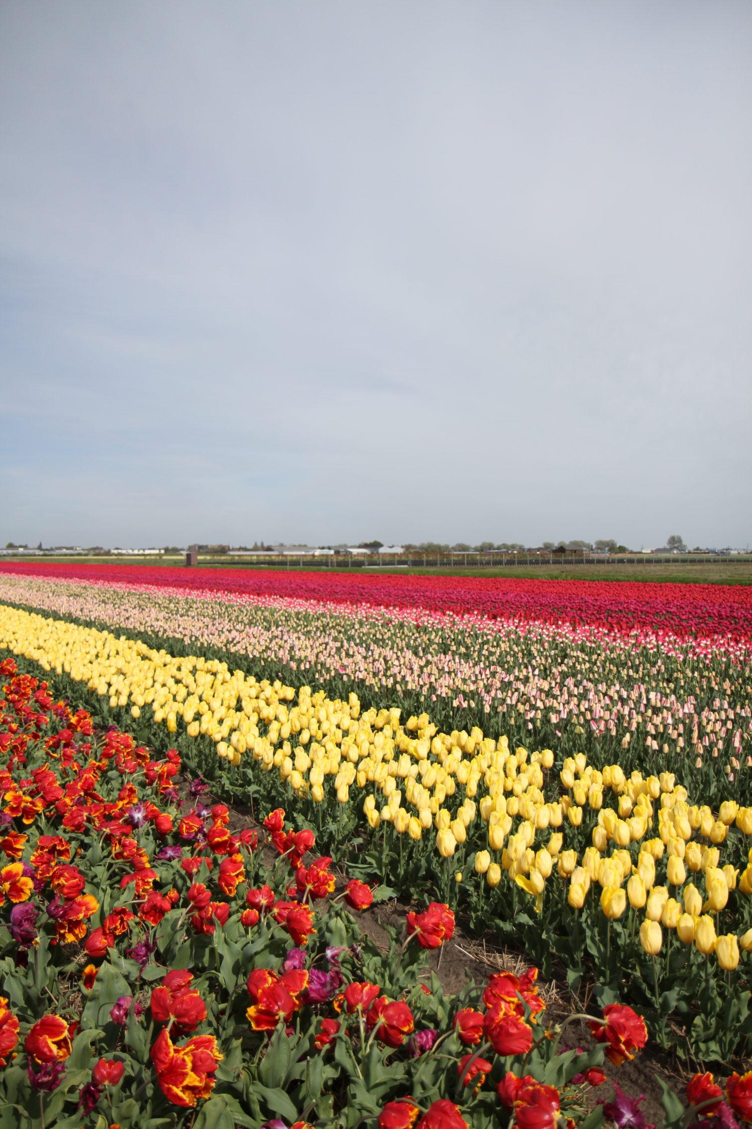 keukenhof tulipes pays-bas