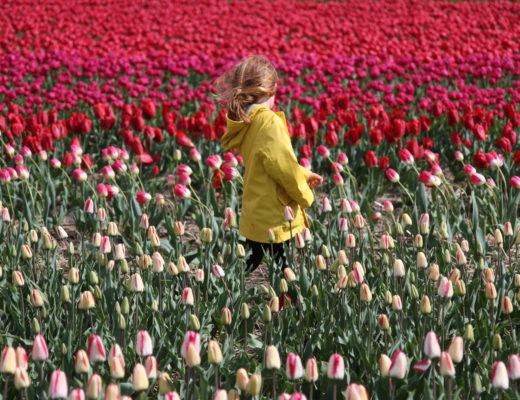 hollande tulipes pays-bas
