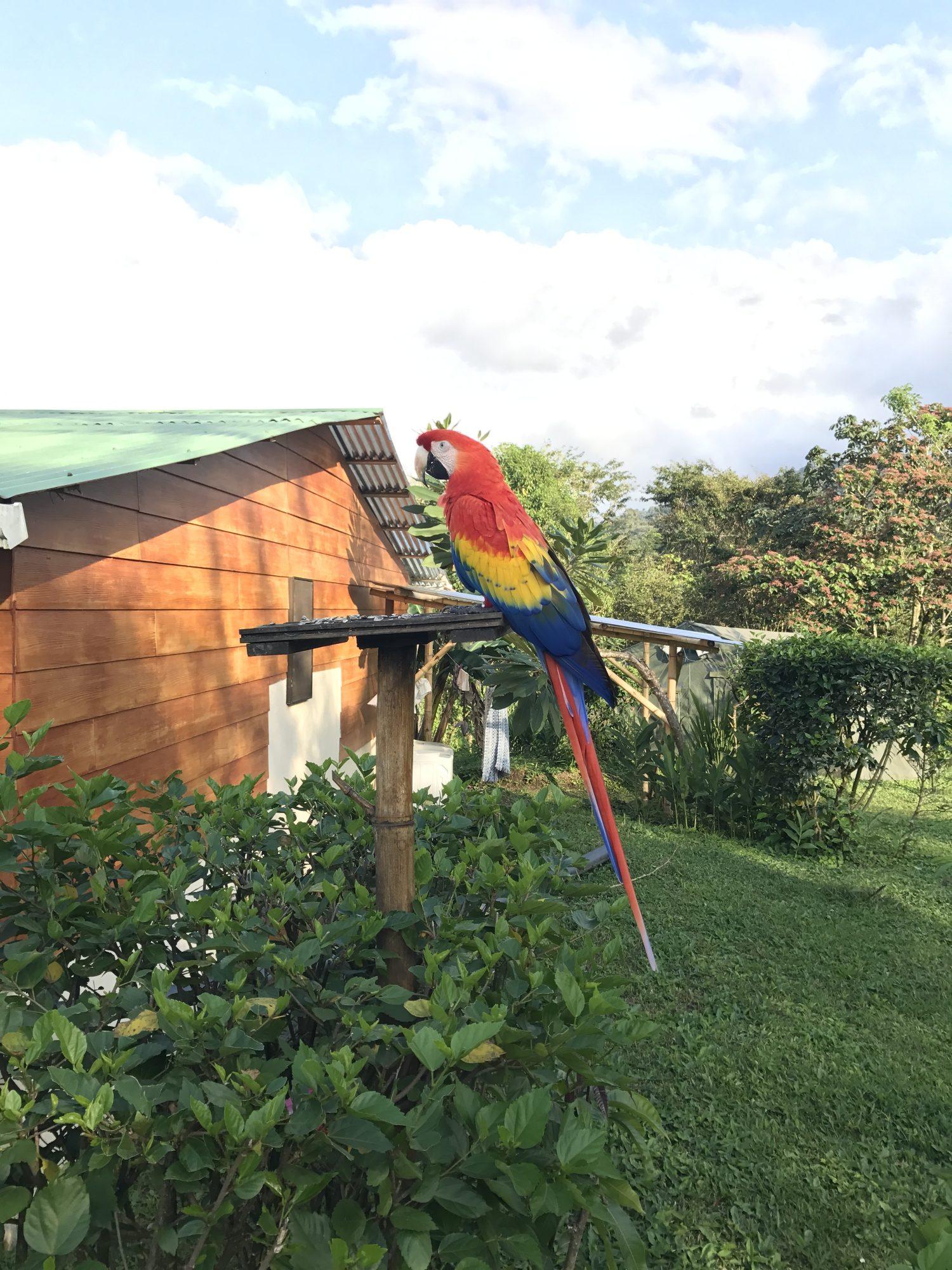 Ara rouge à Arenal au Costa Rica