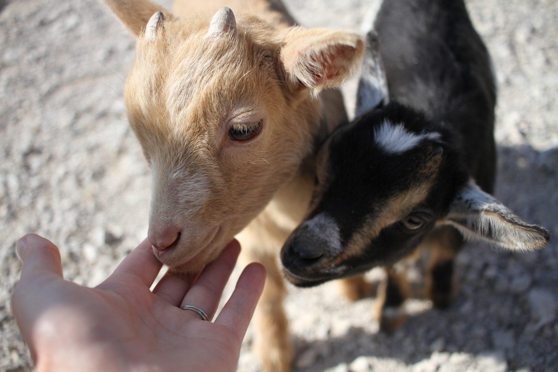 bébés chèvres