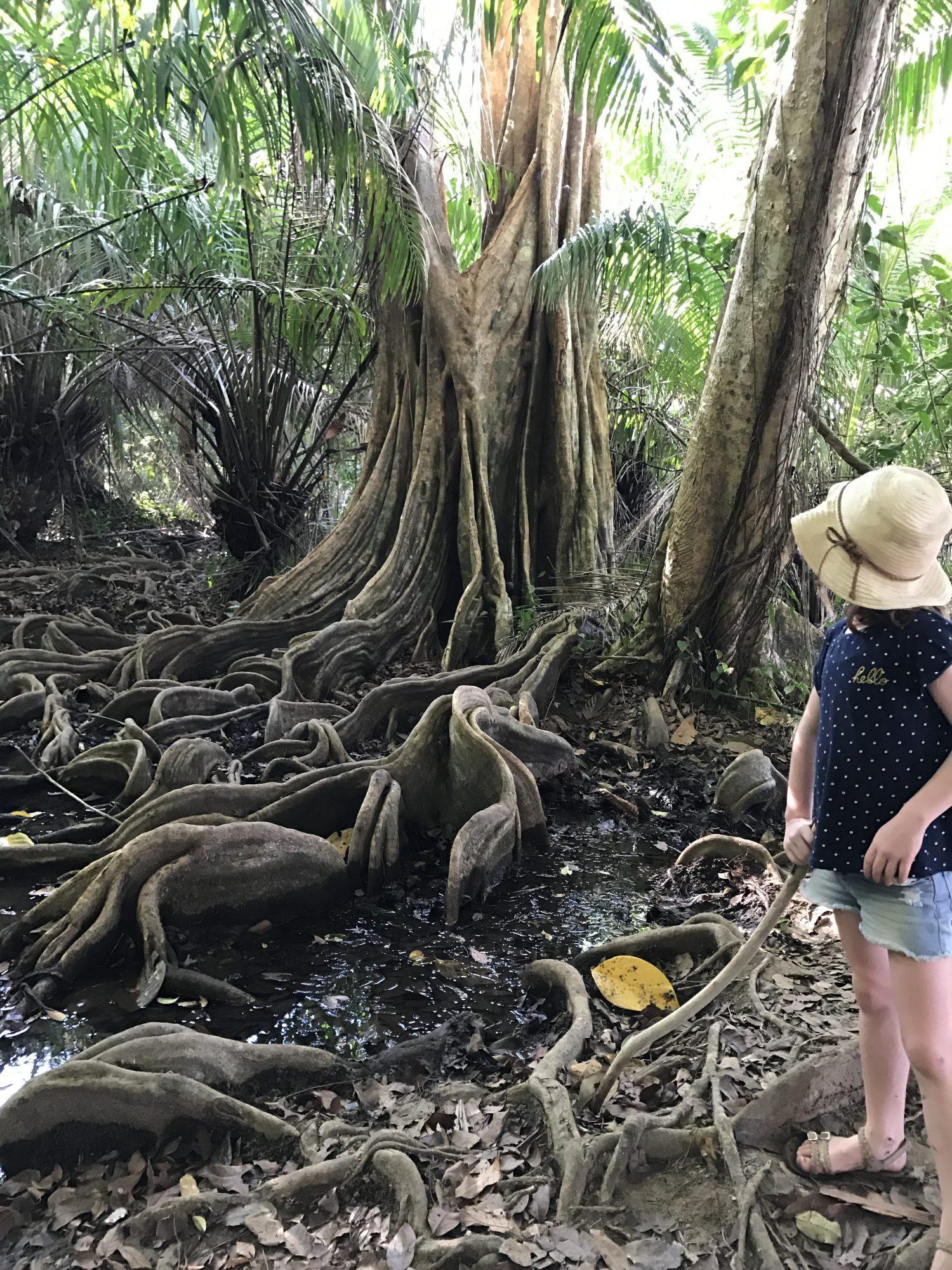 racines mangrove drake bay
