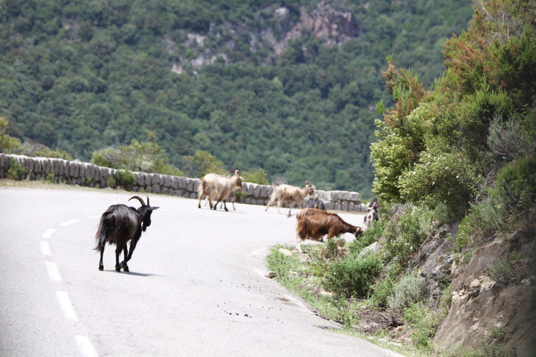 chèvres corse