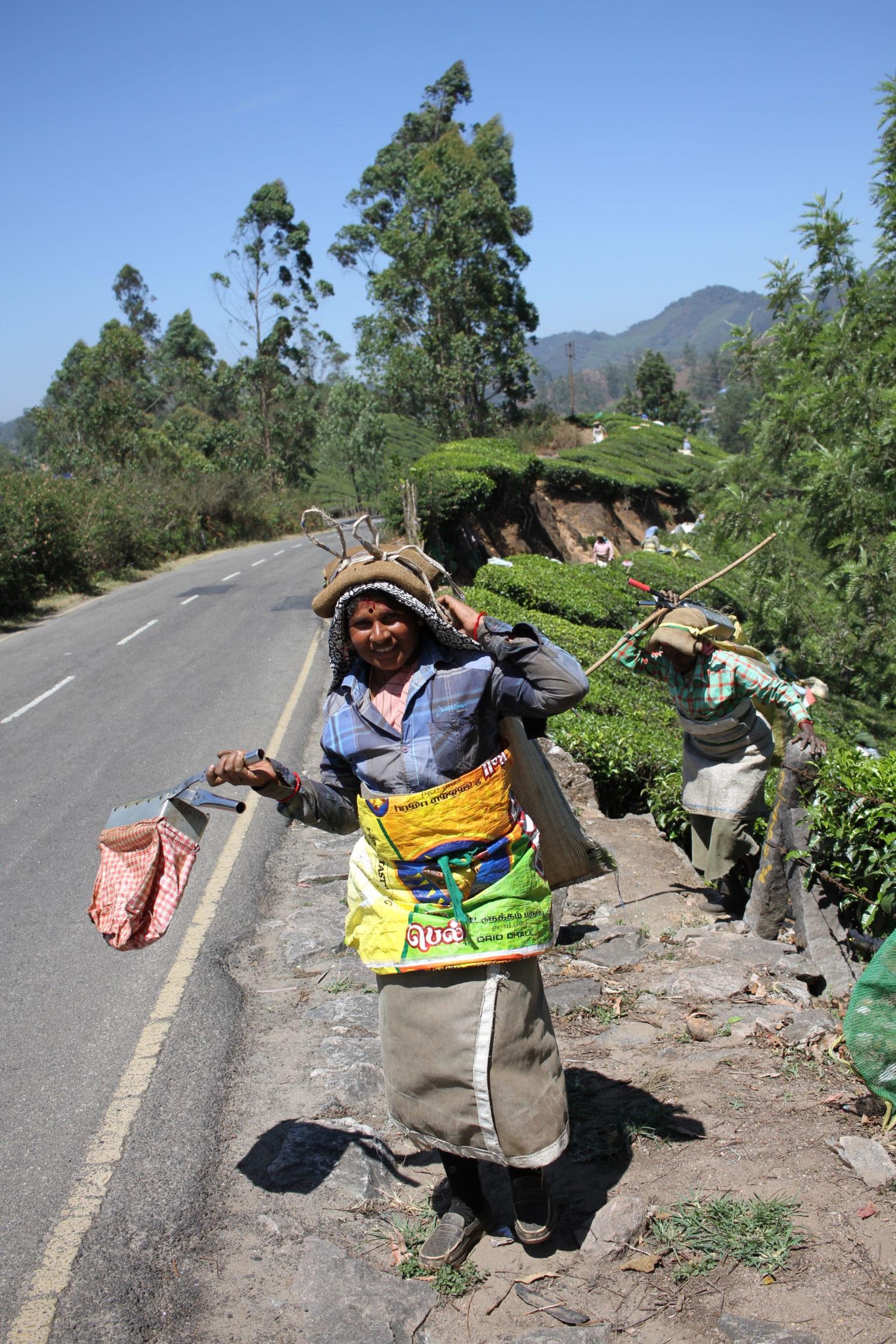 munnar plantation de thé