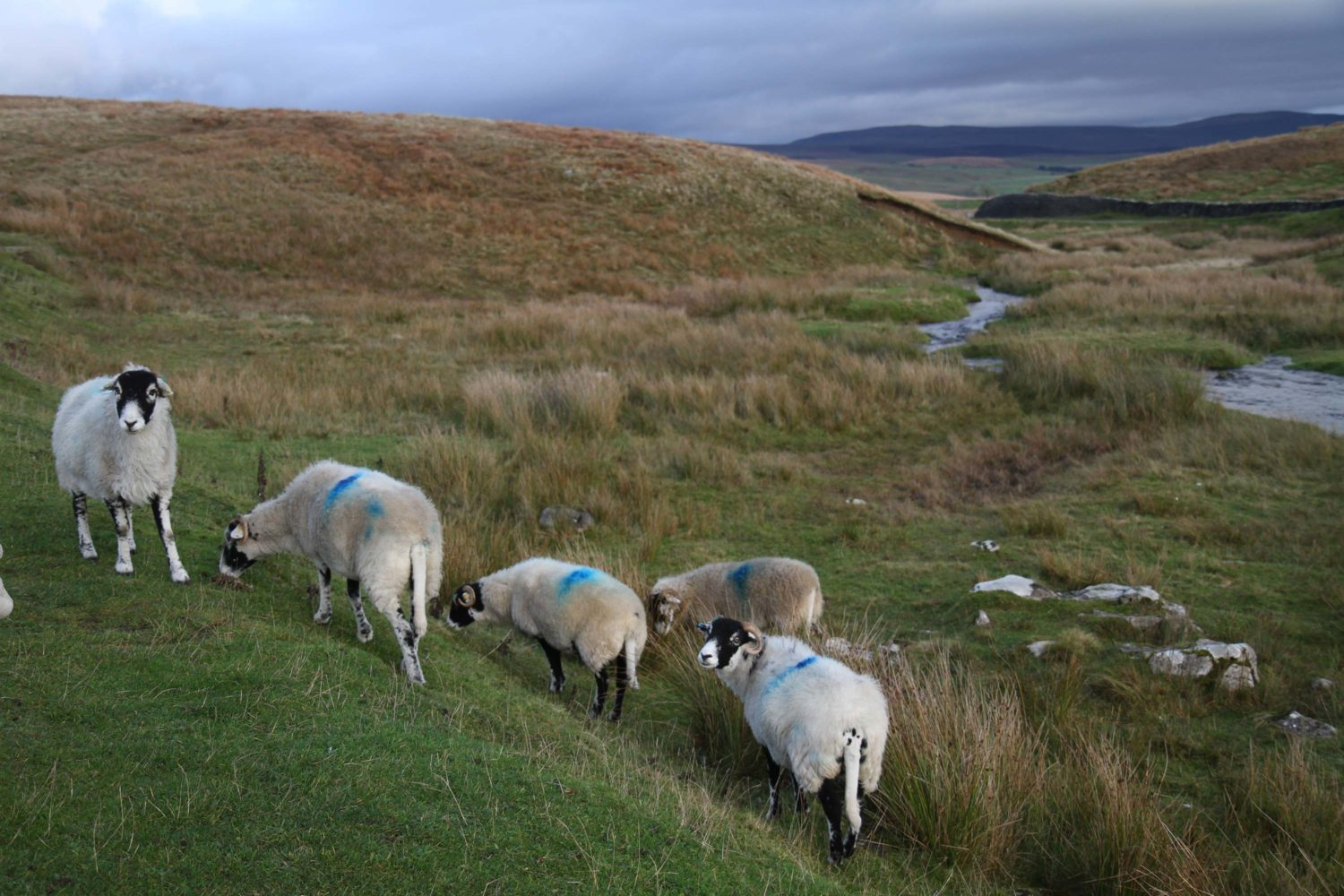 Yorkshire dales moutons