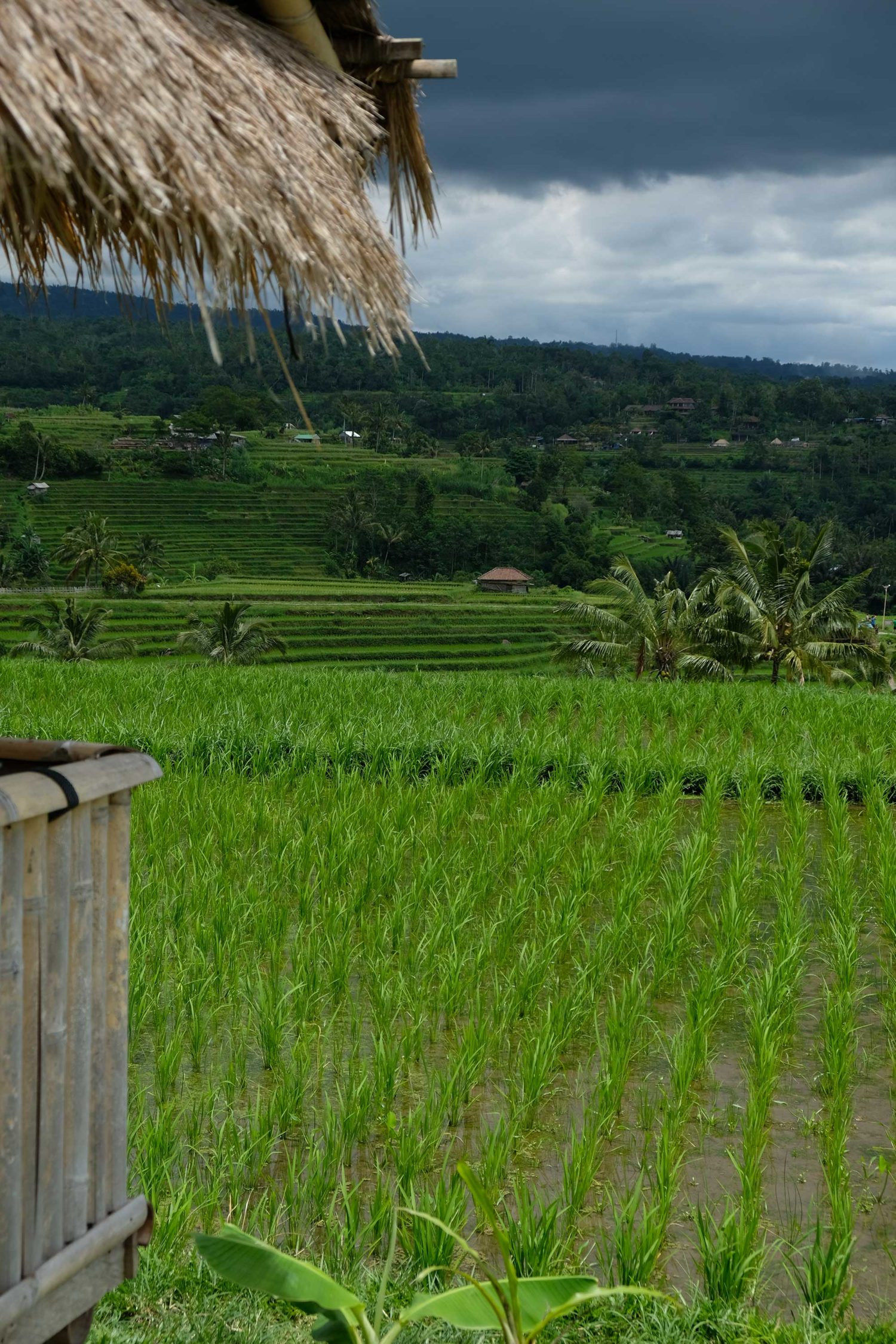 rizières de Jatiluwuh