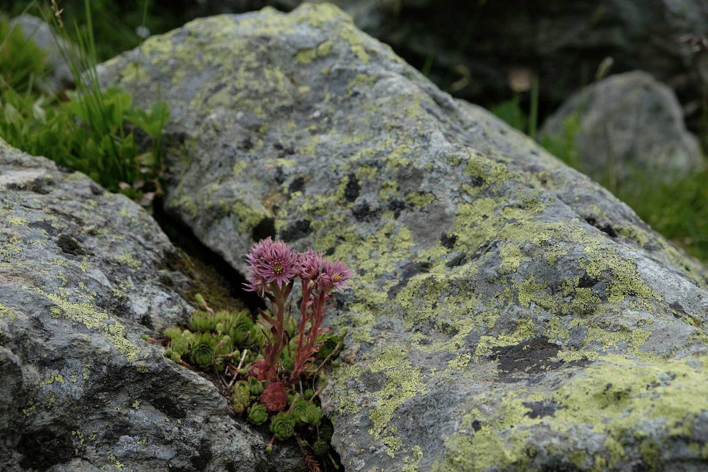 fleur des montagnes joubarbe